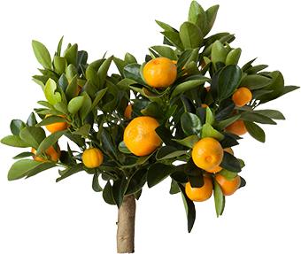 __apelsin_trad
